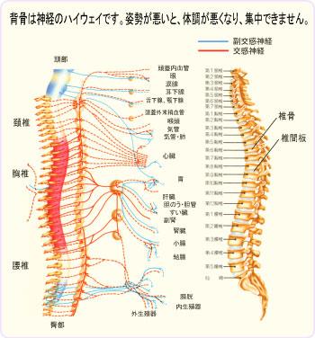 背骨 自律神経